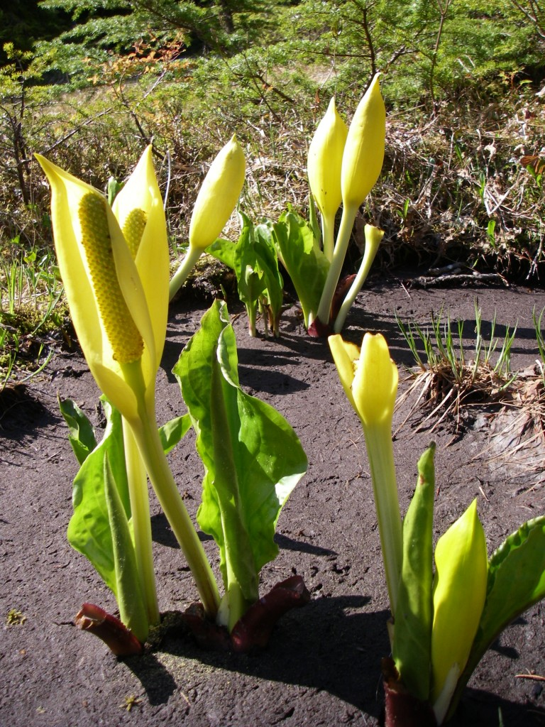 9 Skunk Cabbage 2